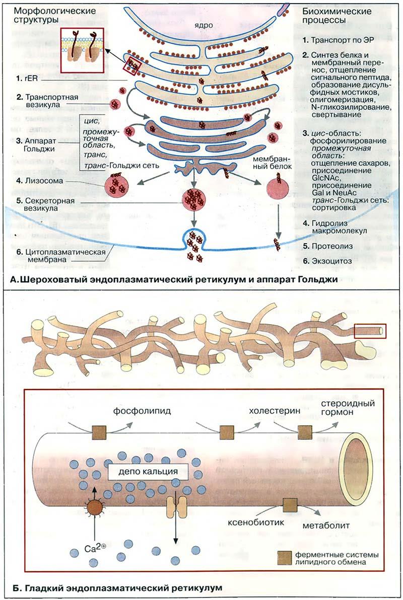 Клетки Гольджи фото