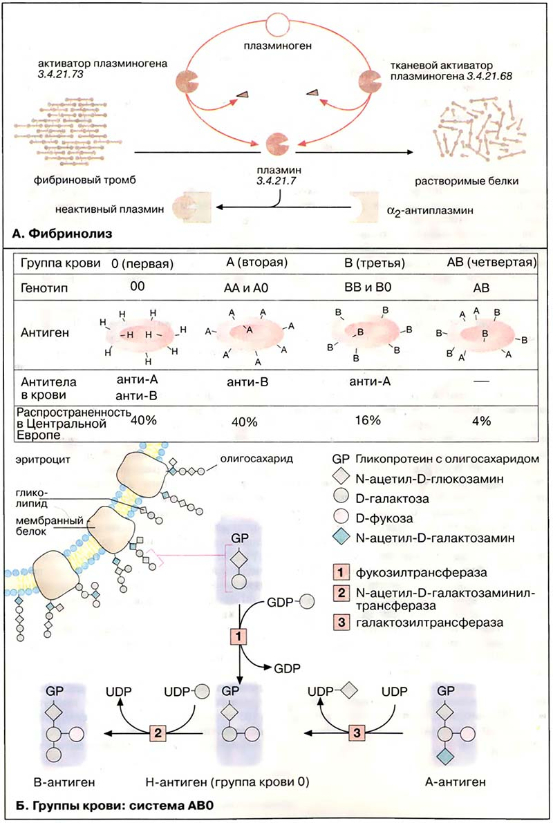 Эритробластоз фото