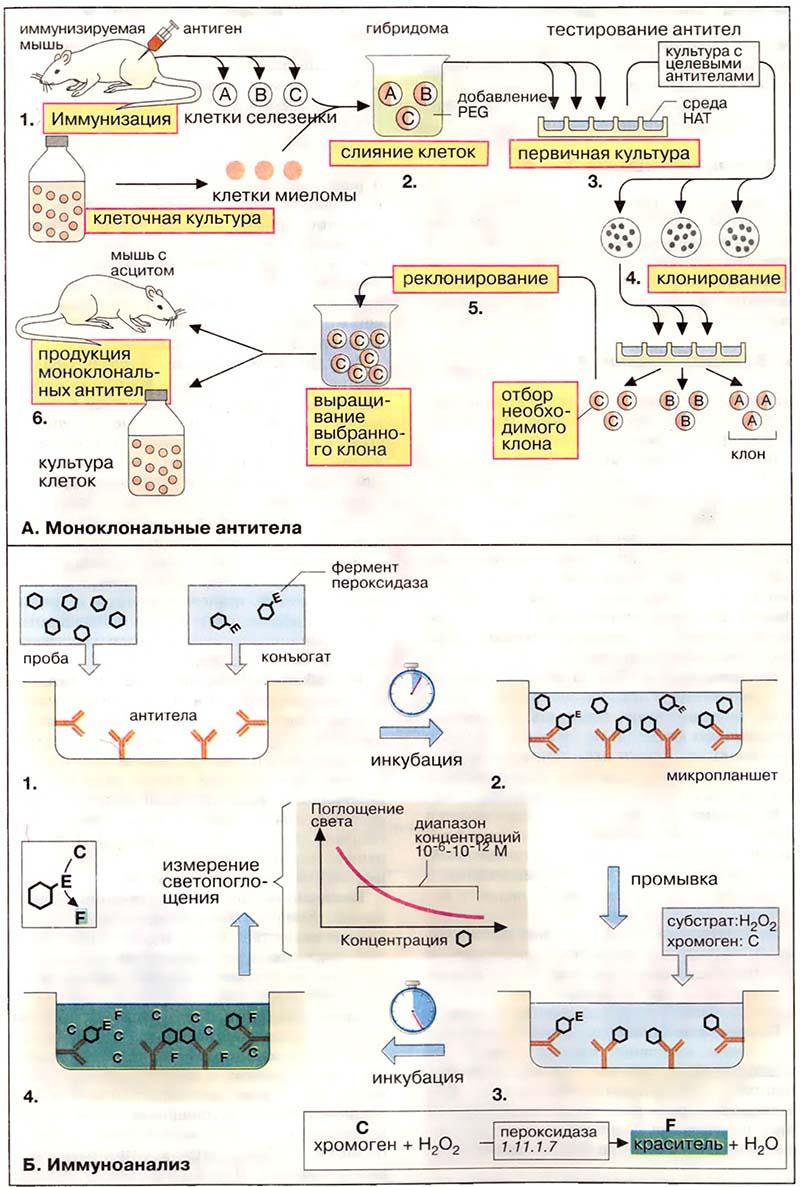 Моноклональные антитела (МАТ) секретируются иммунными клетками, происходящими от единственной антителообразующей...