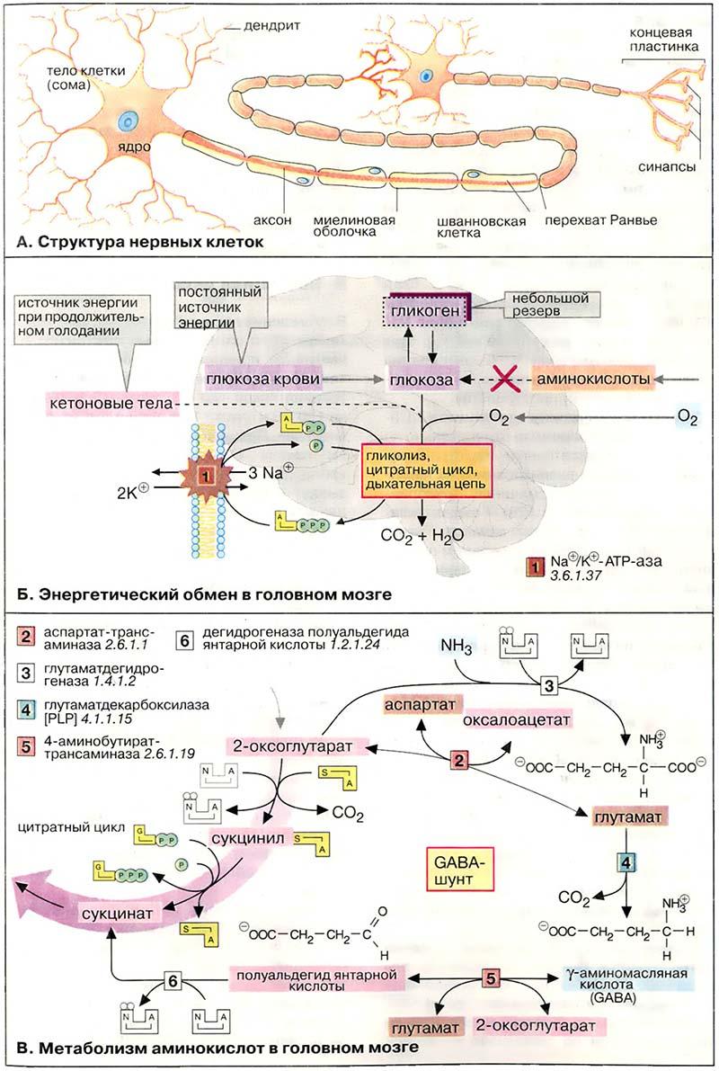 Схема энергетического обмена в клетке фото 23